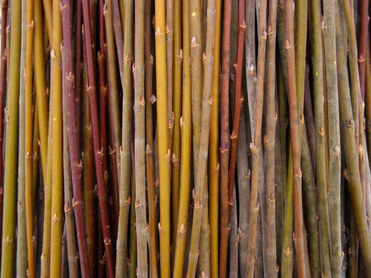 Zweige der Korbweide