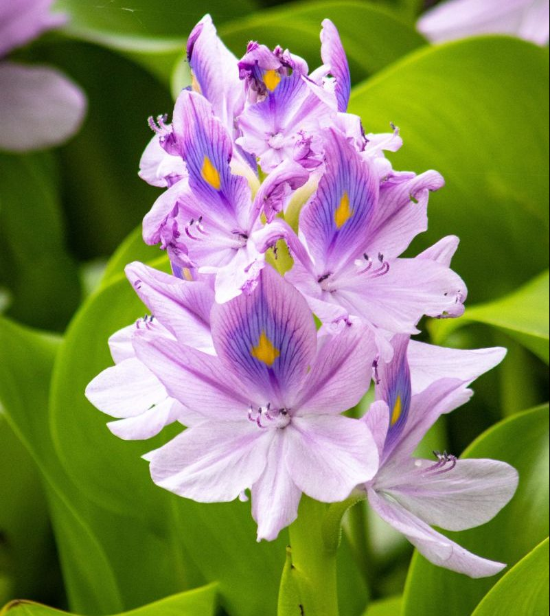 Lila Blüte der Wasserhyazinthe